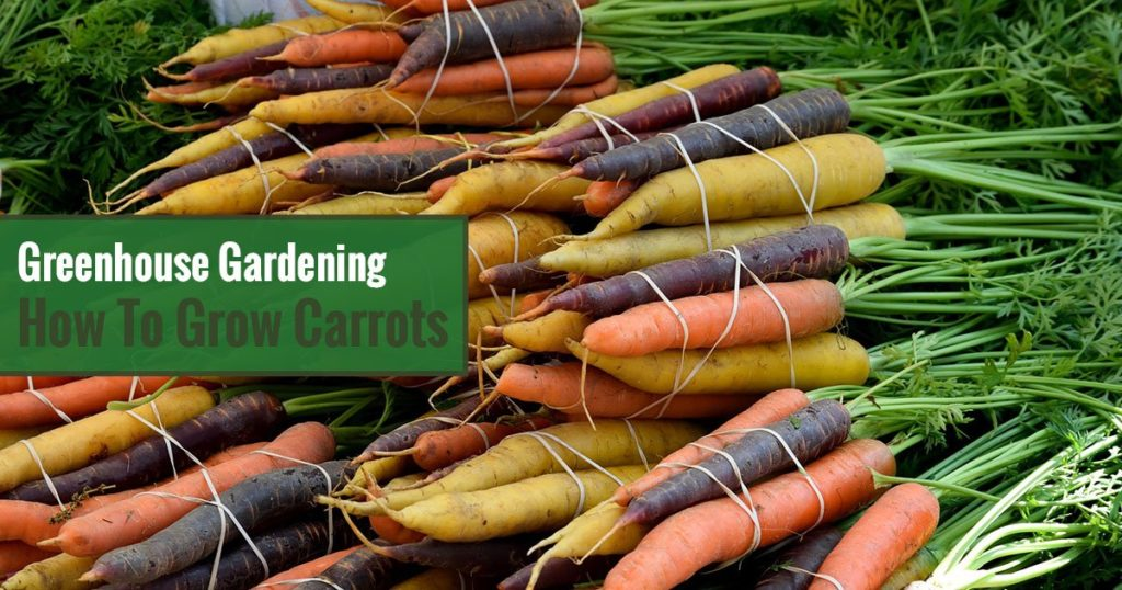 Varieties of harvested carrots with Texts: Greenhouse Gardening: How to Grow Carrots