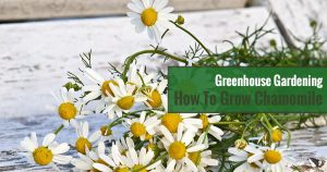 Greenhouse Gardening – How to Grow Chamomile?