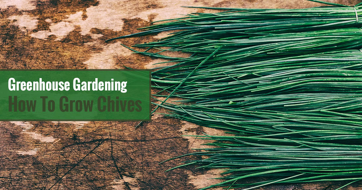 Greenhouse Gardening – How to Grow Chives?