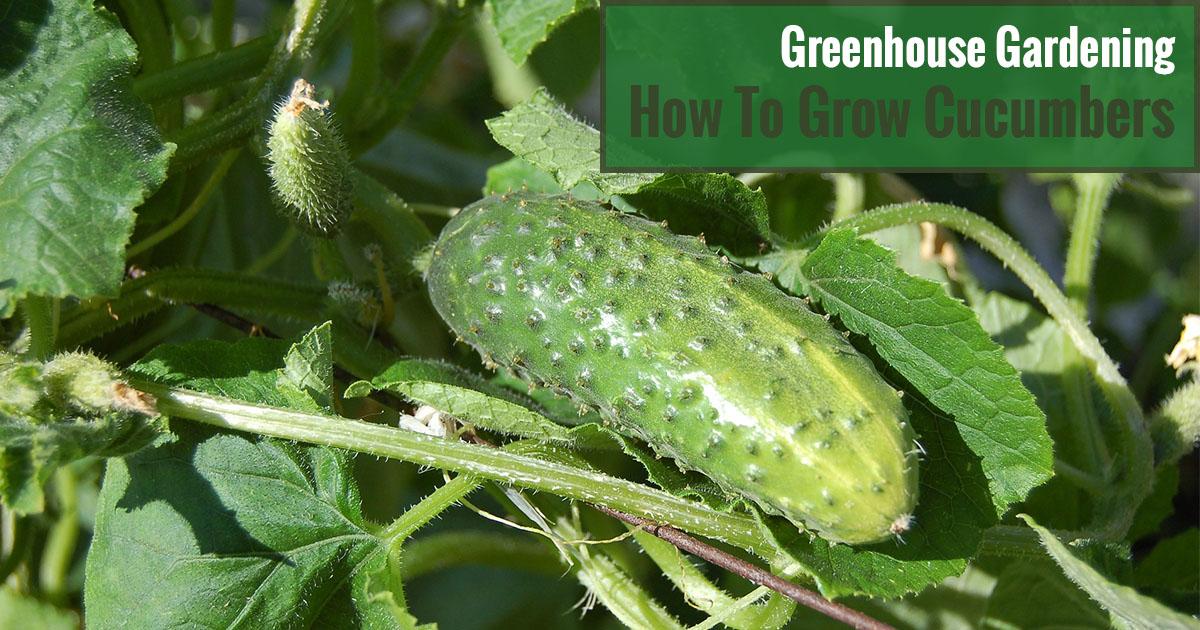 Greenhouse Gardening - How to Grow Cucumbers?