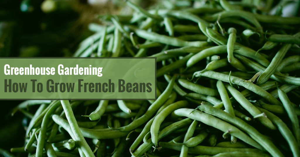Harvested French Beans with Text on the left side