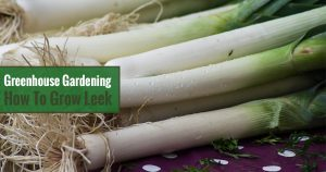 Greenhouse Gardening – How to Grow Leek?