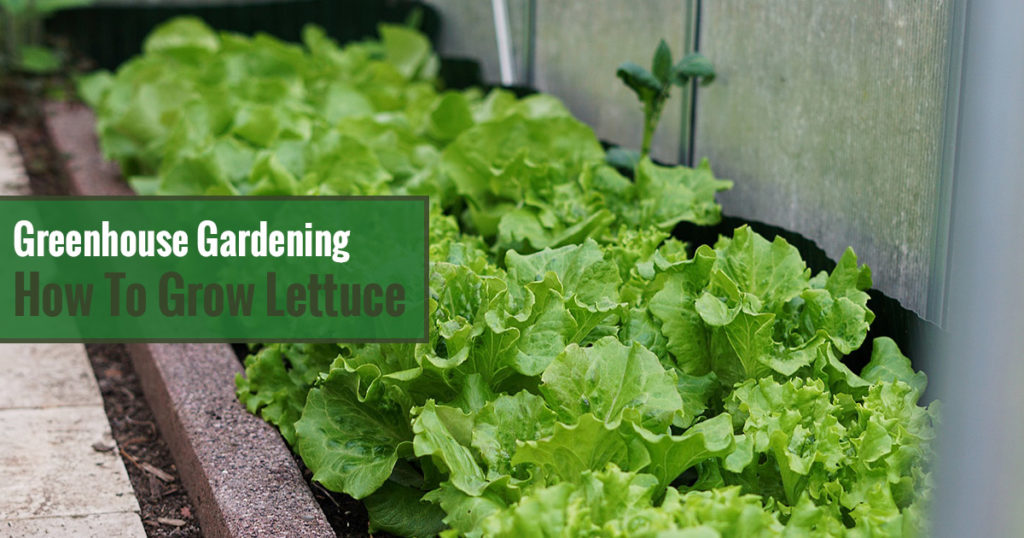 Greenhouse Gardening – How to Grow Lettuce?
