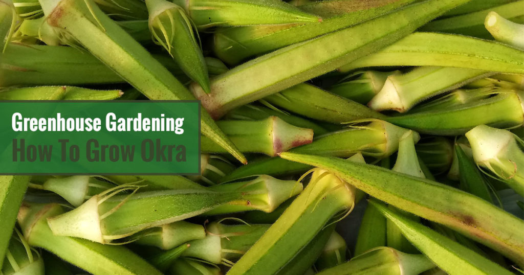 Greenhouse Gardening - How to Grow Okra?
