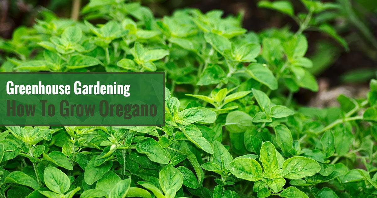 Greenhouse Gardening - How to Grow Oregano?
