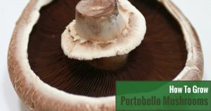 How to Grow Portobello Mushrooms?