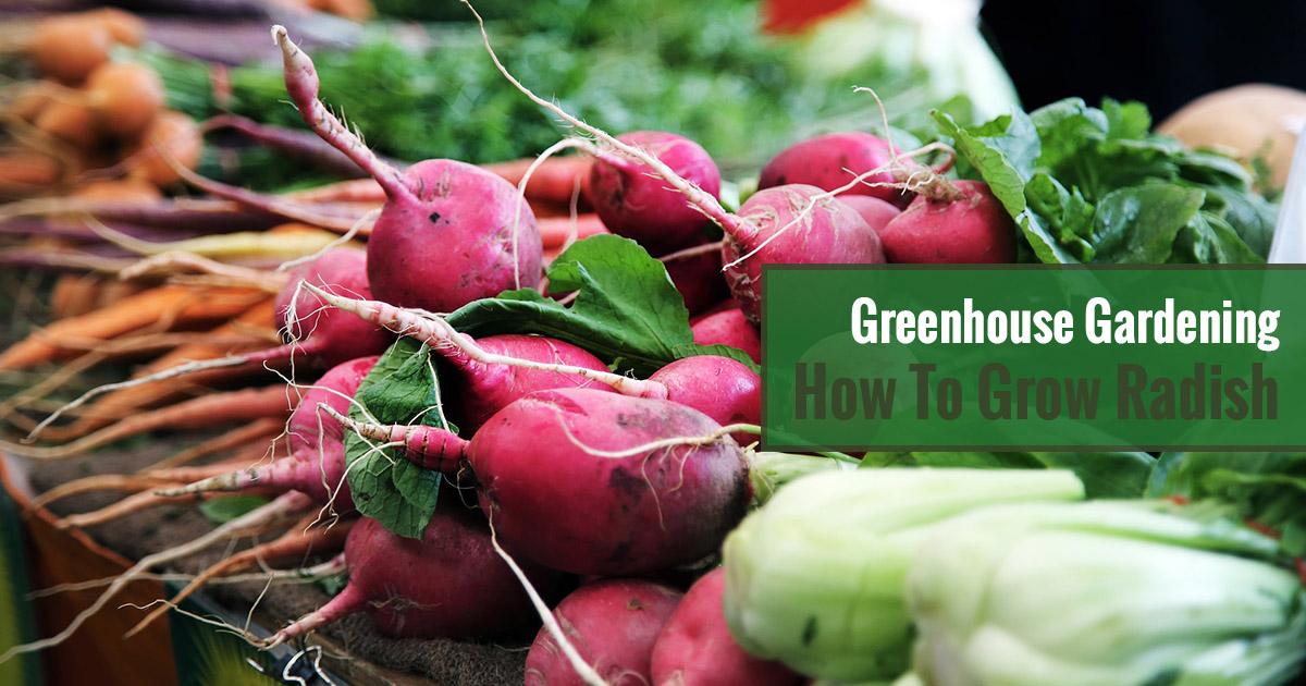 Greenhouse Gardening – How to Grow Radish?
