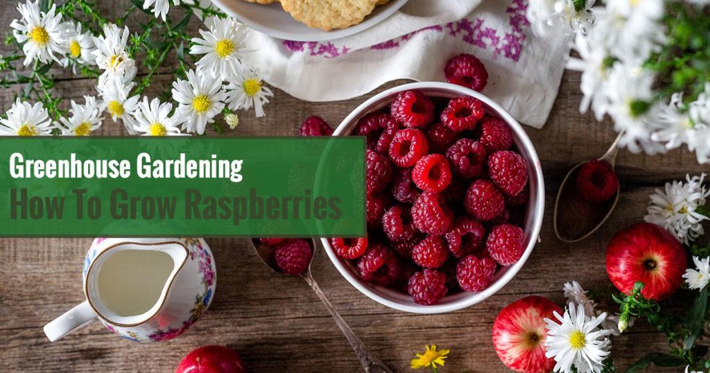 Greenhouse Gardening – How to Grow Raspberries?
