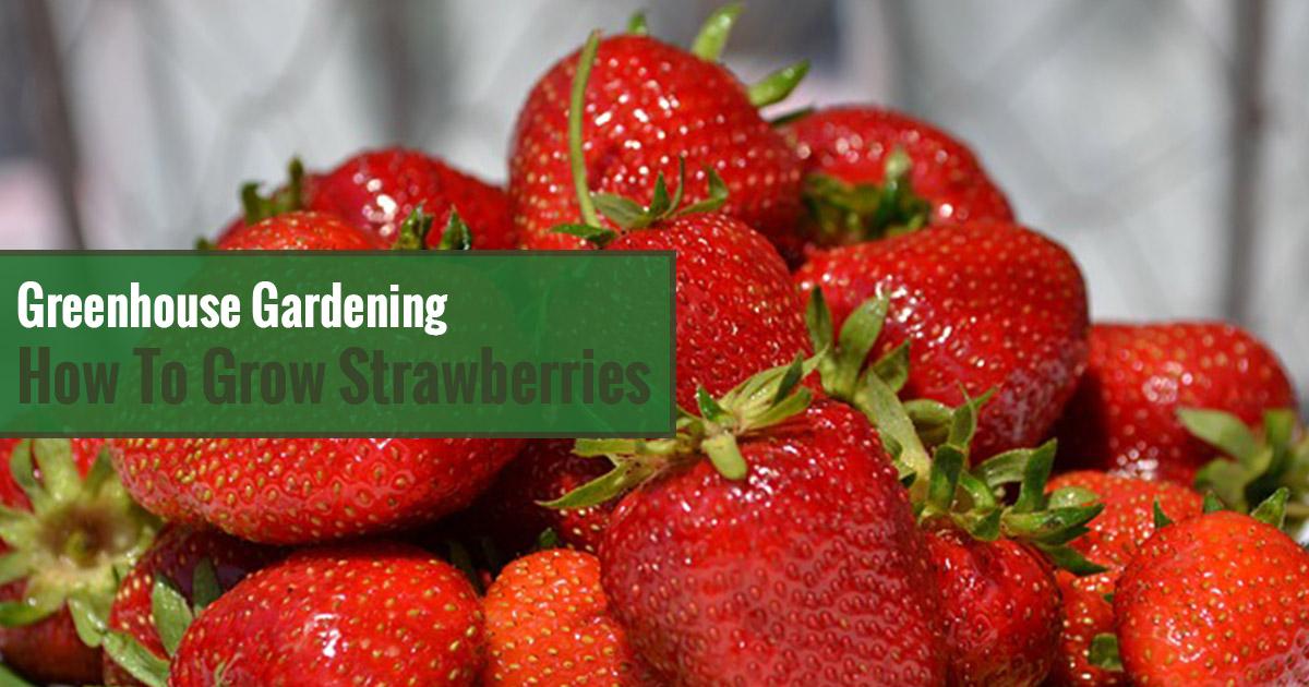 growing strawberries ultimate guide