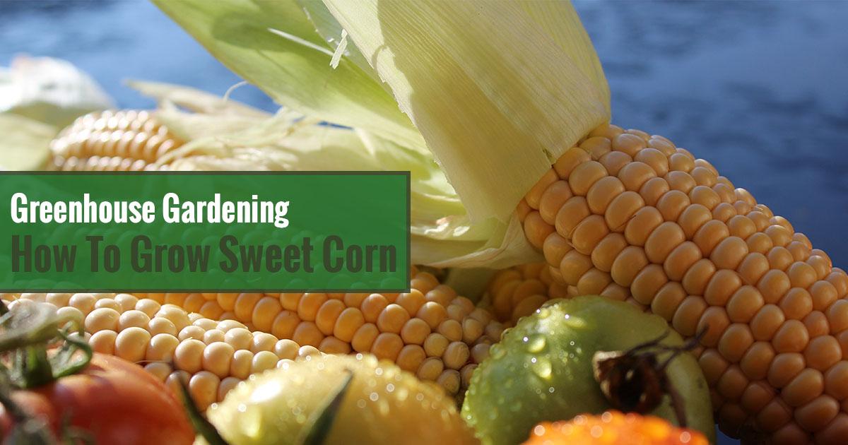 Greenhouse Gardening – How to Grow Sweet Corn?