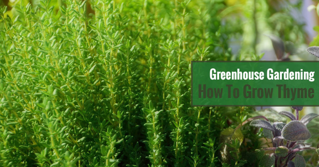 Greenhouse Gardening – How to Grow Thyme?