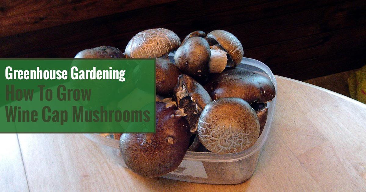 Greenhouse Gardening – How to Grow Wine Cap Mushrooms?