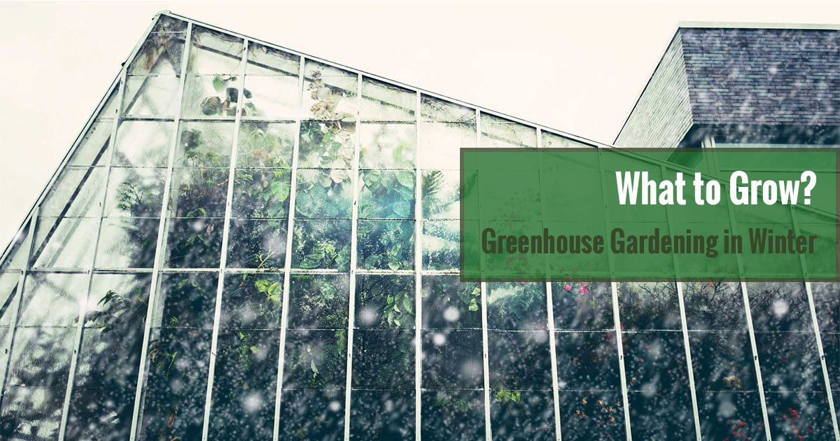 A greenhouse full of plants in winter with text: What to Grow? Greenhouse Gardening in Winter