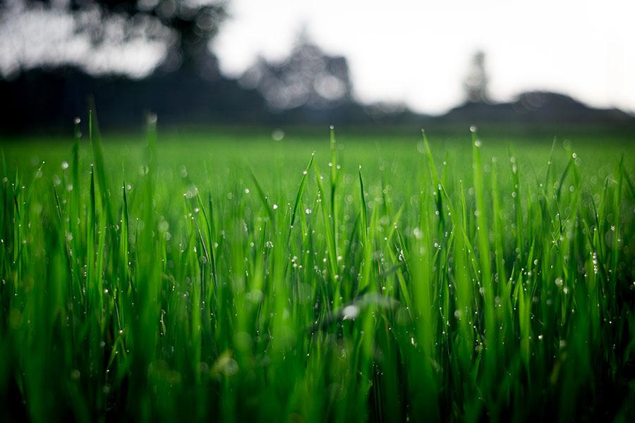 Fresh green, healthy lawn with water drops