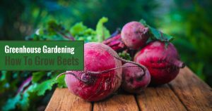 Greenhouse Gardening – How to Grow Beets?