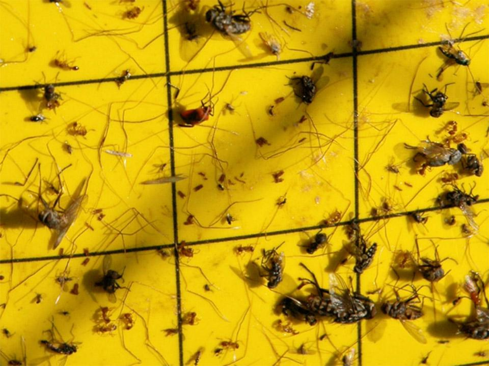 Yellow sticky traps with insects caught on it