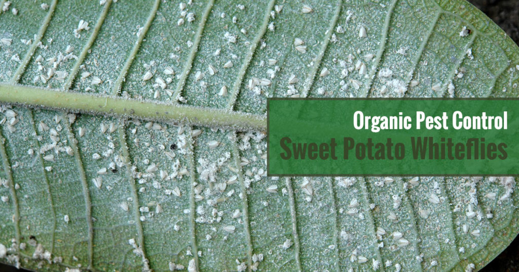 Organic Pest Control Sweet Potato Fireflies