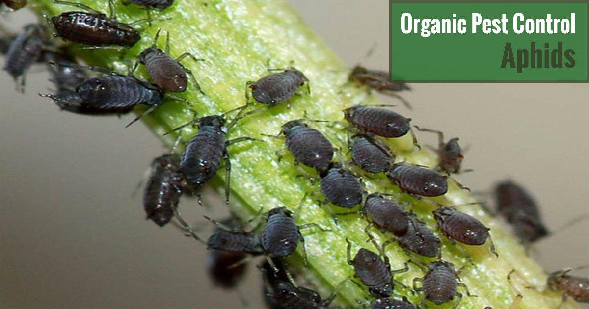 Organic Pest Control Aphids