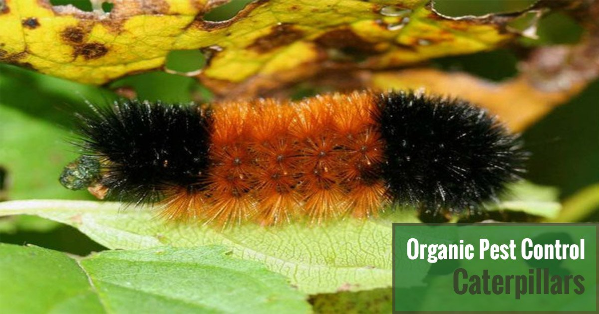 A striped colored caterpillar crawling on a leaf with the text Organic Pest Control Caterpillars