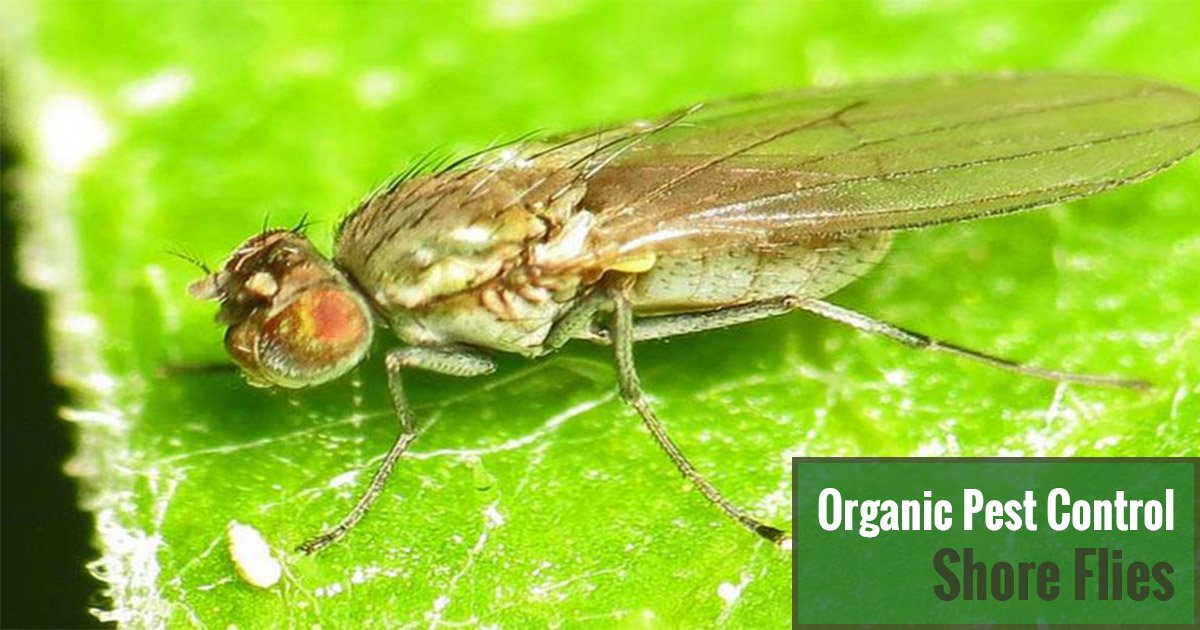 Organic Pest Control Shore Flies