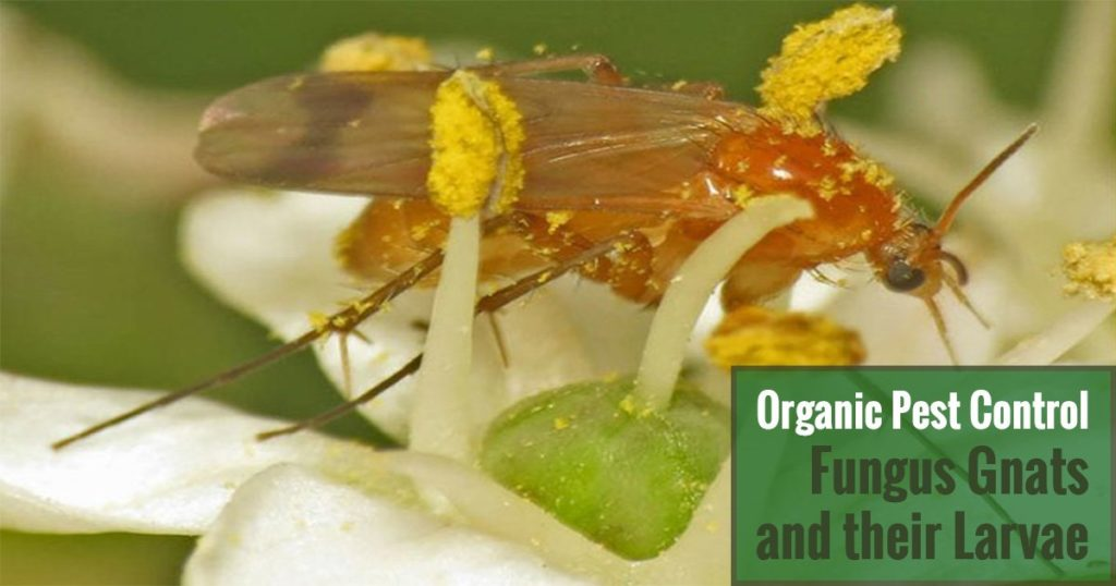 Organic Pest Control Fungus Gnats and their Larvae