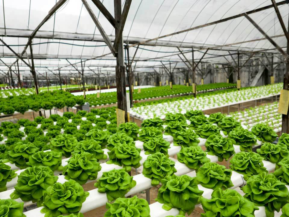 Vegetables Rows Inside a Greenhouse