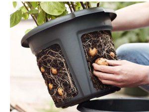 Harvesting crop from ELHO Potato Pot Planter