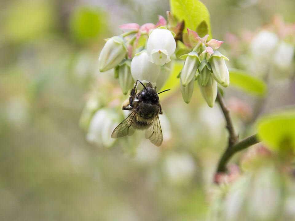Bee pollinating the flower of a blueberry plant
