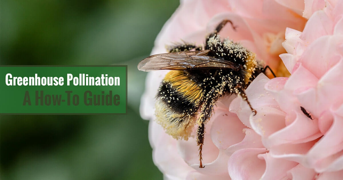 Bumblebee on a pink flower and the text: Greenhouse Pollination - A How-To Guide