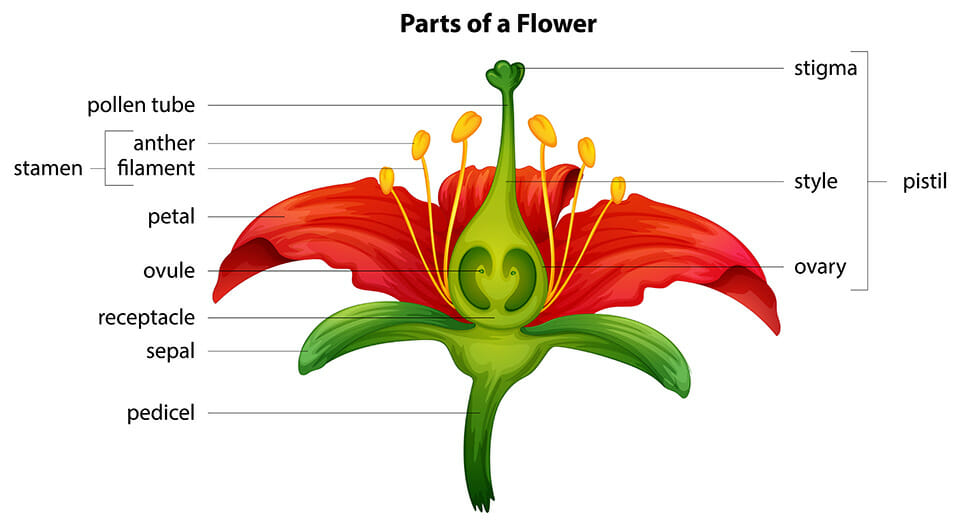Parts of a flower with their scientific names