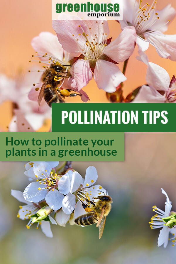 Bees on blossoms and the text: Pollination Tips - How to pollinate your plants in a greenhouse