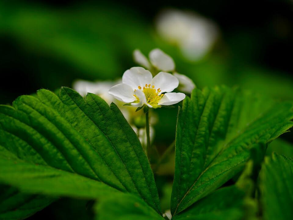 White Strawberry blossom on a plant
