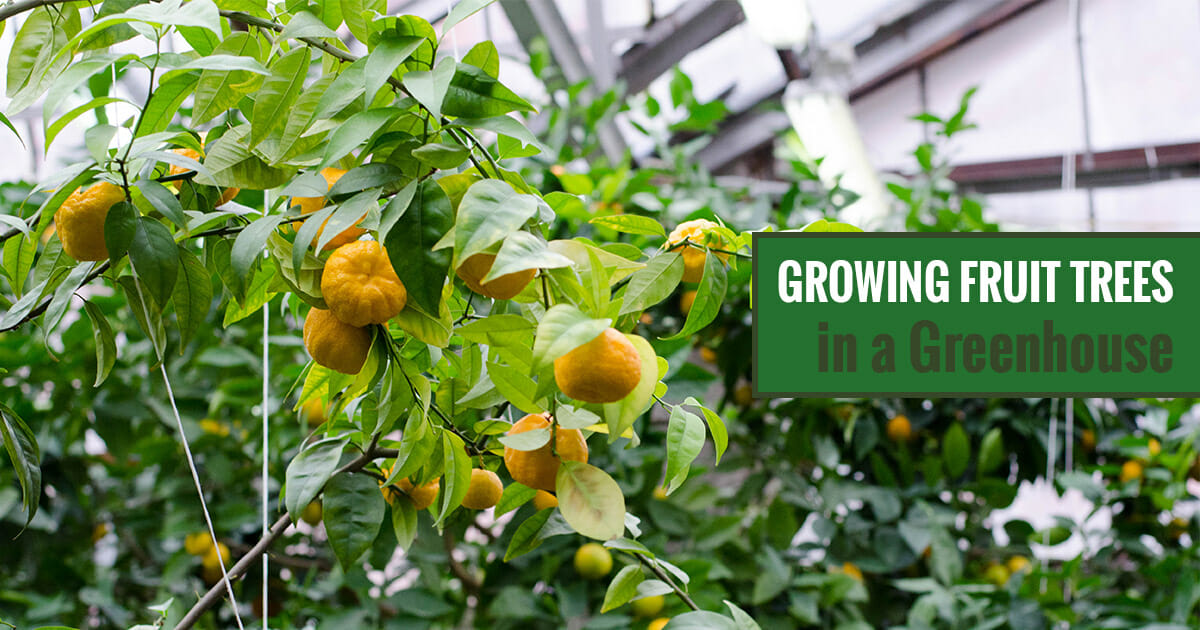 Tangerines in a greenhouse with the text: Growing Fruit Trees in a Greenhouse