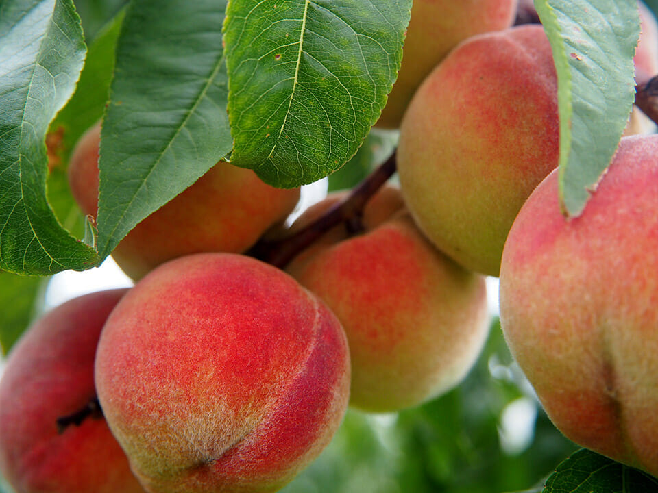 Red peaches on a tree with green leaves