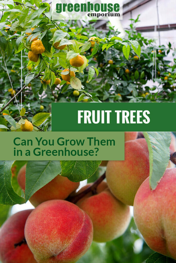 Tangerine trees with fruits in a greenhouse and peaches with the text overlay: Freuit Trees - Can you grow them in a greenhouse?