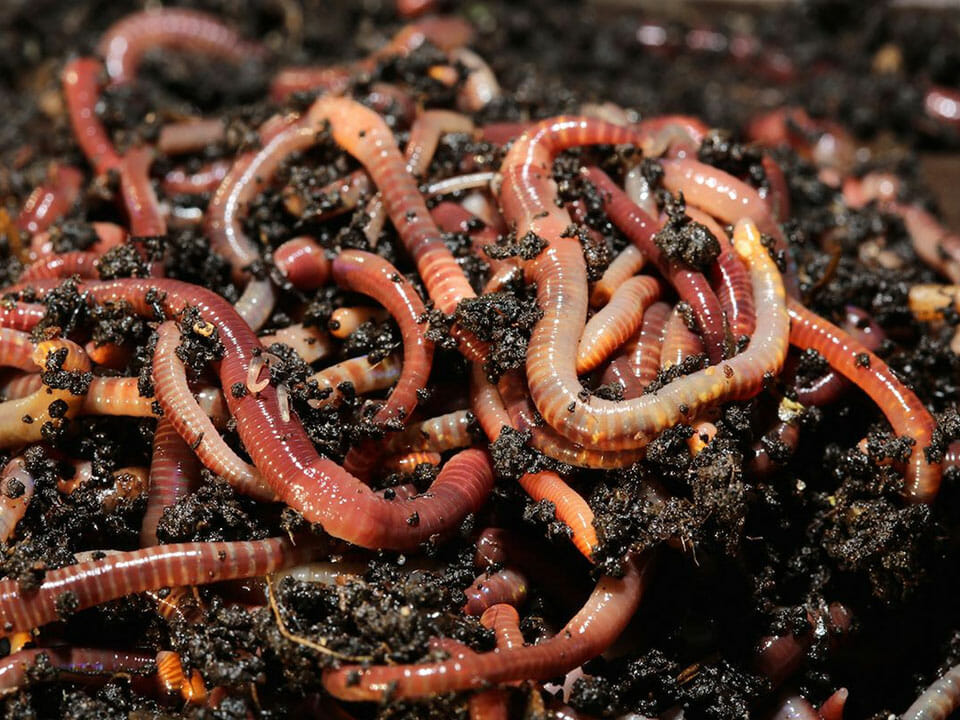 Plenty of red rigger worms in soil