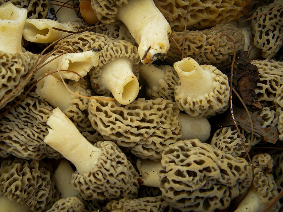 Numerous morel mushrooms with hollow stem but stem and hood are connected