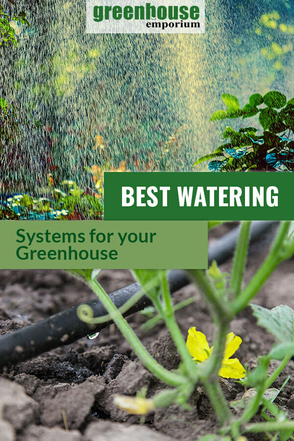 Soaker hose with flowering squash plant and sprinklers in greenhouse with text in green box: Best Watering Systems for your Greenhouse