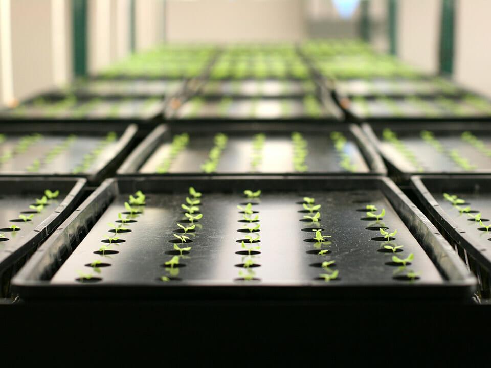 Black self-watering seed trays in rows with seedlings emerging