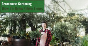 Woman in a greenhouse filled with olive trees while holding a potted olive tree with the text: Greenhouse Gardening - How to grow olive trees