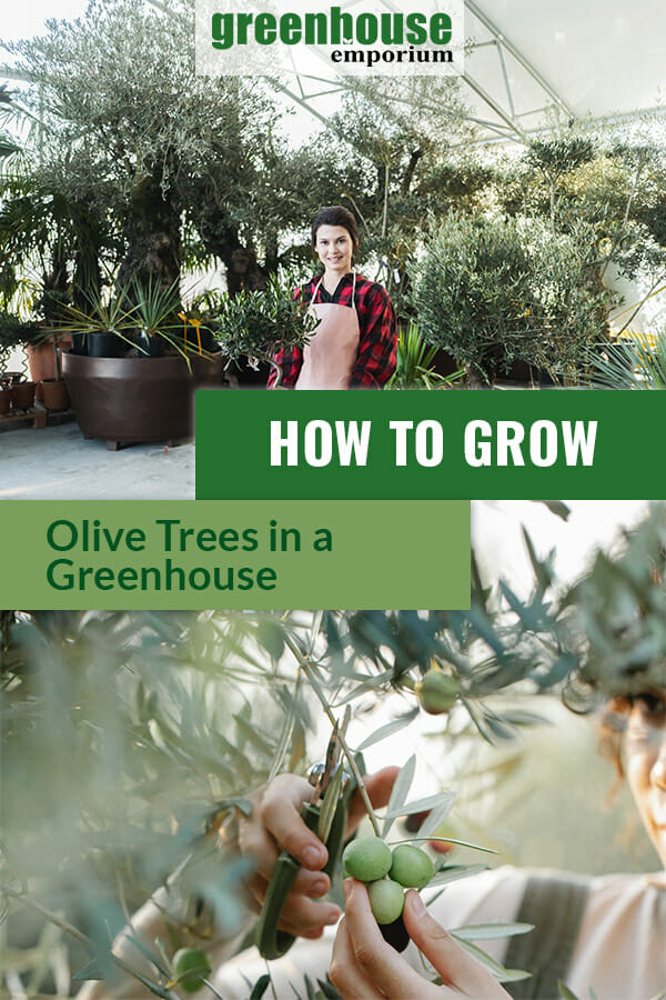 Woman in a greenhouse filled with olive trees, woman pruning an olive tree with the text: How to grow olive trees in a greenhouse