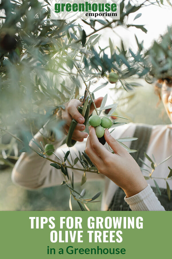 Woman pruning an olive tree with the text: Tips for growing olive trees in a greenhouse
