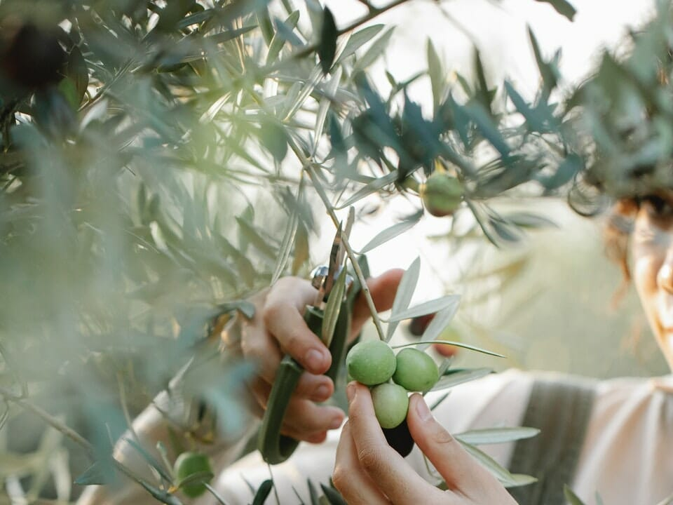 Olive tree in greenhouse, woman pruning branch